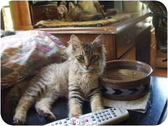 Bengal Kitten for adoption in Flint, Michigan - Joey