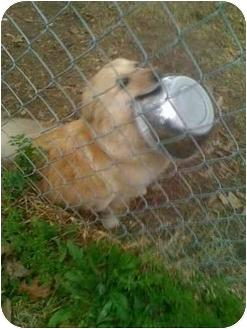 Pomeranian/Sheltie, Shetland Sheepdog Mix Dog for adoption in Kingwood, Texas - Lacey