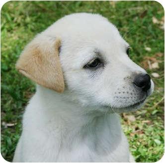Labrador Retriever/Shepherd (Unknown Type) Mix Puppy for adoption in Harrisonburg, Virginia - Iris