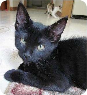 Domestic Shorthair Kitten for adoption in Hendersonville, Tennessee - Black Bart