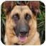 Photo 1 - German Shepherd Dog Dog for adoption in Los Angeles, California - Rocky von Lancaster
