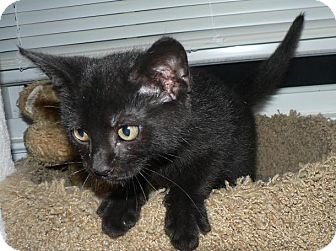 Domestic Shorthair Cat for adoption in Hendersonville, Tennessee - Gus