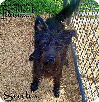 Schnauzer (Miniature) Mix Dog for adoption in Groton, Massachusetts - Scooter