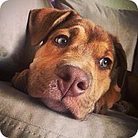 Adopt A Pet :: Star - Broomfield, CO