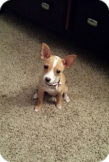 Chihuahua Puppy for adoption in Tampa, Florida - Piper