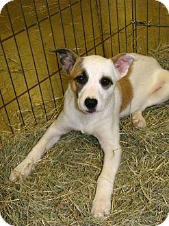 Australian Cattle Dog Mix Puppy for adoption in Gainesville, Florida - Alex