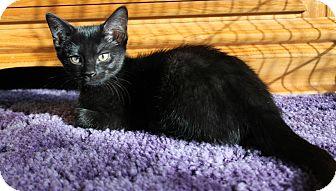 Domestic Shorthair Kitten for adoption in Chambersburg, Pennsylvania - Willow