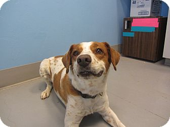 Brittany Mix Dog for adoption in Ridgway, Colorado - Spice
