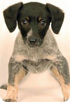 Australian Cattle Dog/Hound (Unknown Type) Mix Puppy for adoption in Newland, North Carolina - Cargo