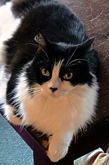 Domestic Longhair Cat for adoption in Pasadena, California - Hope