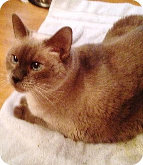 Siamese Cat for adoption in Ravenna, Texas - MIsty Morning