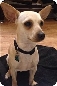 Chihuahua Dog for adoption in Union Grove, Wisconsin - Doda-PENDING!