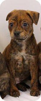 Boston Terrier Mix Puppy for adoption in Bradenton, Florida - Leo