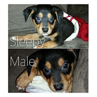 Labrador Retriever/Beagle Mix Puppy for adoption in Austin, Texas - Puppy Sleepy