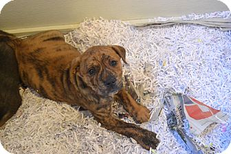 Hound (Unknown Type) Mix Puppy for adoption in Broadway, New Jersey - Chunk