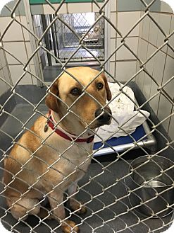 Labrador Retriever Mix Dog for adoption in Redmond, Washington - Helen