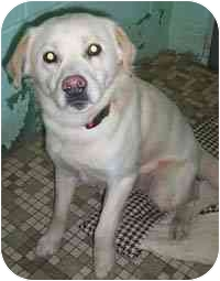 Labrador Retriever Mix Dog for adoption in Honesdale, Pennsylvania - Trickie