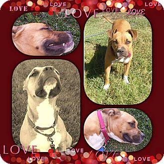 Boxer/Pit Bull Terrier Mix Dog for adoption in Nuevo, California - Regina