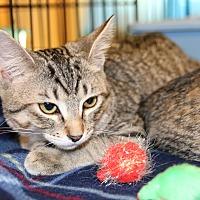 Domestic Shorthair Kitten for adoption in Rochester, Minnesota - Tommy