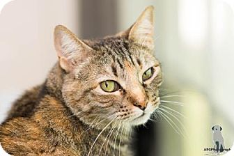Domestic Shorthair/Domestic Shorthair Mix Cat for adoption in Santa Fe, Texas - Judy