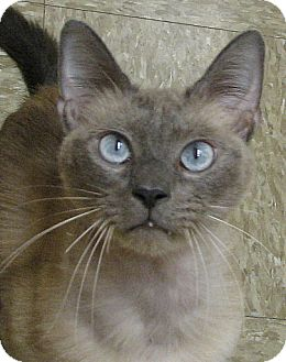 Siamese Cat for adoption in Tulsa, Oklahoma - Lucky 7