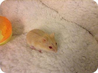 Hamster for adoption in St. Paul, Minnesota - Abba-Zaba