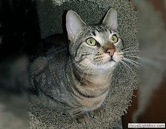 Domestic Shorthair Kitten for adoption in Westchester, California - Boomer