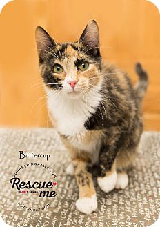 Calico Kitten for adoption in Washburn, Wisconsin - Sicilian Buttercup