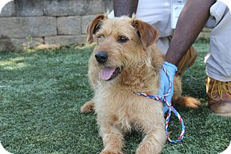 Airedale Terrier Mix Dog for adoption in Greensboro, North Carolina - Brizzle