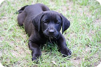 Labrador Retriever Mix Puppy for adoption in Sturbridge, Massachusetts - Shade