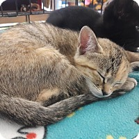 Adopt A Pet :: Felicity - Alamo, CA