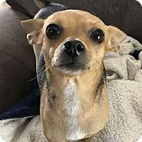 Adopt A Pet :: Perla - Oviedo, FL