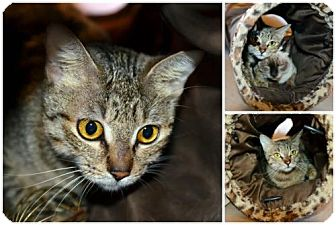 Domestic Shorthair Cat for adoption in Vancouver, Washington - Lady Bug