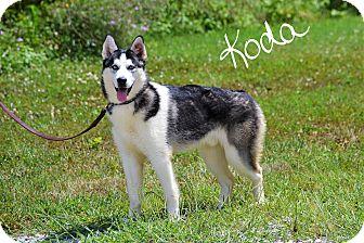 Siberian Husky Puppy for adoption in Lebanon, Missouri - Koda