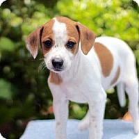 Adopt A Pet :: PUPPY TWINKIE - Andover, CT