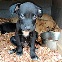 Boxer/Dachshund Mix Puppy for adoption in Norristown, Pennsylvania - Shadow