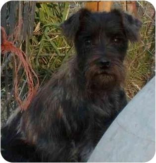 Miniature Schnauzer Dog for adoption in Warsaw, Missouri - Chewy