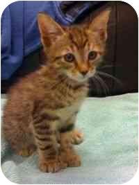 Hemingway/Polydactyl Kitten for adoption in Tampa, Florida - Midnight