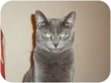 Russian Blue Cat for adoption in Las Vegas, Nevada - SILVER