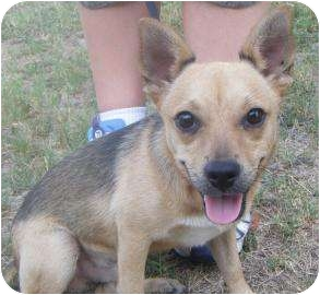 Chihuahua Mix Dog for adoption in Schertz, Texas - Midas