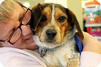 Beagle Dog for adoption in Cincinnati, Ohio - Ren: 18 months, 19 pounds