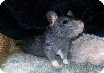 Rat for adoption in Lakewood, Washington - Black Male