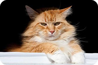 Maine Coon Cat for adoption in Pittstown, New Jersey - Leo