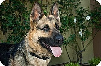 German Shepherd Dog Dog for adoption in Newport Beach, California - Jessie