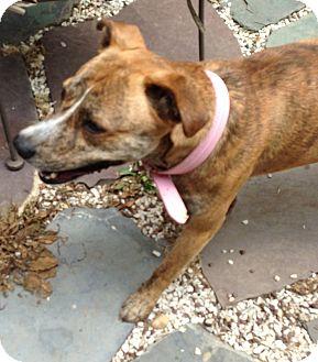 Hound (Unknown Type) Mix Dog for adoption in Manhasset, New York - Adeline