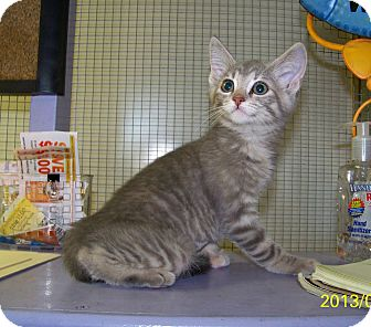 Domestic Shorthair Kitten for adoption in Dover, Ohio - Lulu
