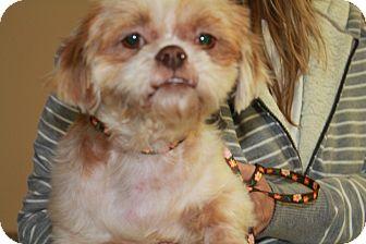 Shih Tzu/Pekingese Mix Dog for adoption in Hainesville, Illinois - Kiko