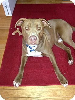 Pit Bull Terrier Mix Dog for adoption in Milford, Michigan - Rusty