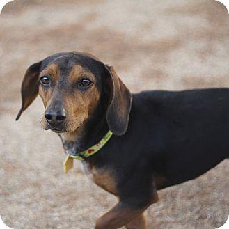 Dachshund/Coonhound Mix Dog for adoption in Phoenix, Arizona - Rupert