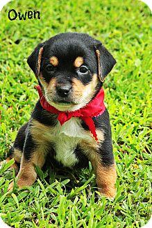 Schnauzer (Standard)/Miniature Pinscher Mix Puppy for adoption in Glastonbury, Connecticut - Owen